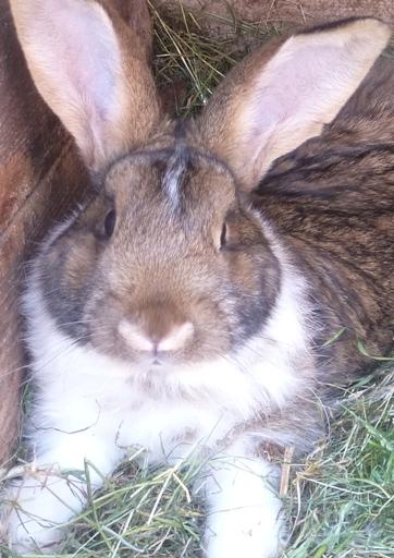 fota królika